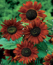 50 Pcs Seeds Orange Sunflower Seeds Velvet Queen Heirloom Sunflower Seeds - $13.99