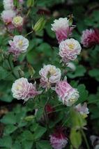 50 DBL Rose White Columbine Flower Perennial Seeds #STL17 - $15.17
