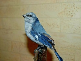 "RARITY! Azure tit (""russian diamond"") Taxidermy mount - $129.62"