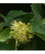 Live Plant Little Leaf Tree Tilla Cordata Approx 18 Inch - $32.34