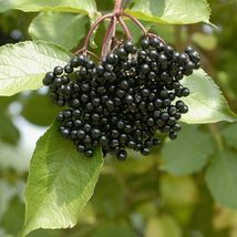 SHIP From US, Elderberry (Sambucus canadensis) shrub qt. pot BV03 - $35.99