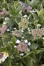 Varigated Hydrangea - Multi Color Leaf Easy to Grow Plants - $64.99
