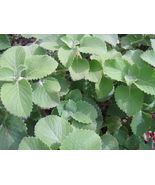 "Cuban oregano, perennial herb - 5 cuttings 3"" each Plectranthus amboinicus  - $23.03"
