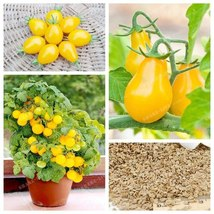 50 Yellow Pear Tomato SEEDS -  Ships Fast from US #719 - $3.95