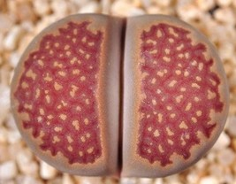 Lithops Hallii Ochracea Rare Living Stones Rock Red Mesemb Exotic Seed 30 Seeds - $7.99