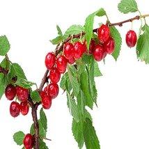 NANKING Cherry 1 Tree, 4 FT Flowering Fruit Tree, Prunus tomentosa - $24.70