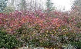 """Henry's Garnet Itea Virginica Sweetspire  2 1/2"""" pot image 6"""