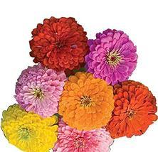 "(AZX)~BULK~""CALIFORNIA GIANTS MIX"" ZINNIA~Seeds!!!~~~~~~~100 Big, Beauti... - $3.26"