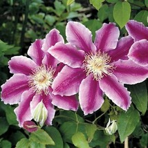 50 Purple White Clematis Seeds Large Bloom Climbing Perennial Flower - TTS - $29.95