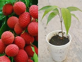 1 Seedling Rooted Potted of Sweet Red Lychee Litchi Tropical Fruit Live Plant Tr - $43.56