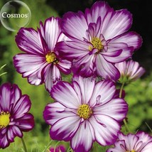 BEST PRICE 50 Seeds Fizzy Rose Picotee Cosmos Flower,DIY Flower Seeds E3878 DG - $4.99