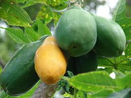 Papaya - Melon Tree - 5+ seeds - FAST and SWEET! - $2.99