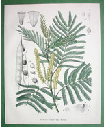 MEDICINAL PLANTS Catechu Tree Acacia - 1860 SCARCE Color Botanical Print - $26.01