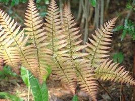 1 Starter Plant of Pinus Flexilis 'Vanderwolf's Pyramid' - $259.38