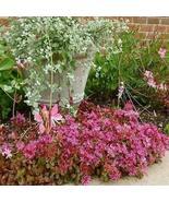 1 Packet of 200 Seeds Sedum Purple Carpet Succulent/Crassulaceae / Spuri... - $17.62