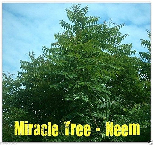 5 Seeds - Neem Plant seed (Azadirachta indica) Fast-growing-leaves, Fruits, Seed