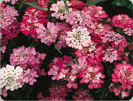 candytuft, PERENNIAL white pink FLOWER, 165 seeds! - $12.25