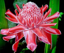 Rare LIVE Etlingera elatior Red Torch Ginger Large Plant Rhizome tropical flower - $24.49