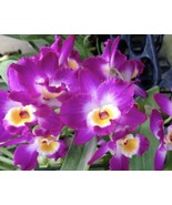 Dendrobium Comet King Akatsuki Orchid Plant Blooming Size NOBILE - $22.49