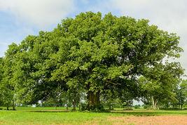 1 Plant in 1 Gallon Pot Bur Oak Tree - Shade Established Roots - Outdoor Living  - $90.00