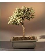 Baby Jade Medium Bonsai Tree - Variegated  Indoor Decor - $48.95