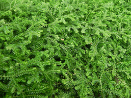Gold Club Moss - Selaginella kraussiana - For Ground Cover - $20.99