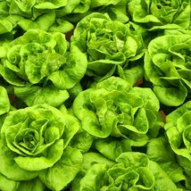 30 Pcs Green Burger lettuce Seed Lactuca Sativa Delicious Vegetable Seeds C149 - $13.58