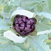 2 Grams Tapes Seeds of Violetto Artichoke - $22.97