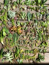 100, 150 or 200 Premium Beautiful Succulent Cuttings Collection image 3
