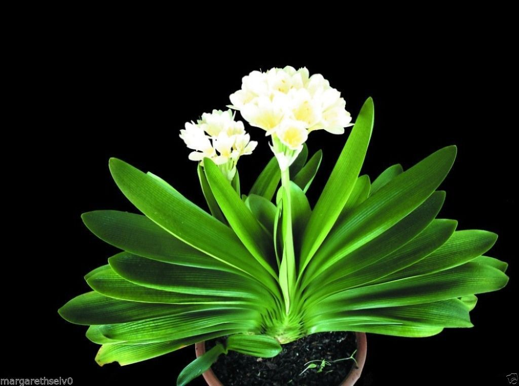 Real White Clivia Minata Flower Seed Decorative Flowers - 1 Pcs/pack