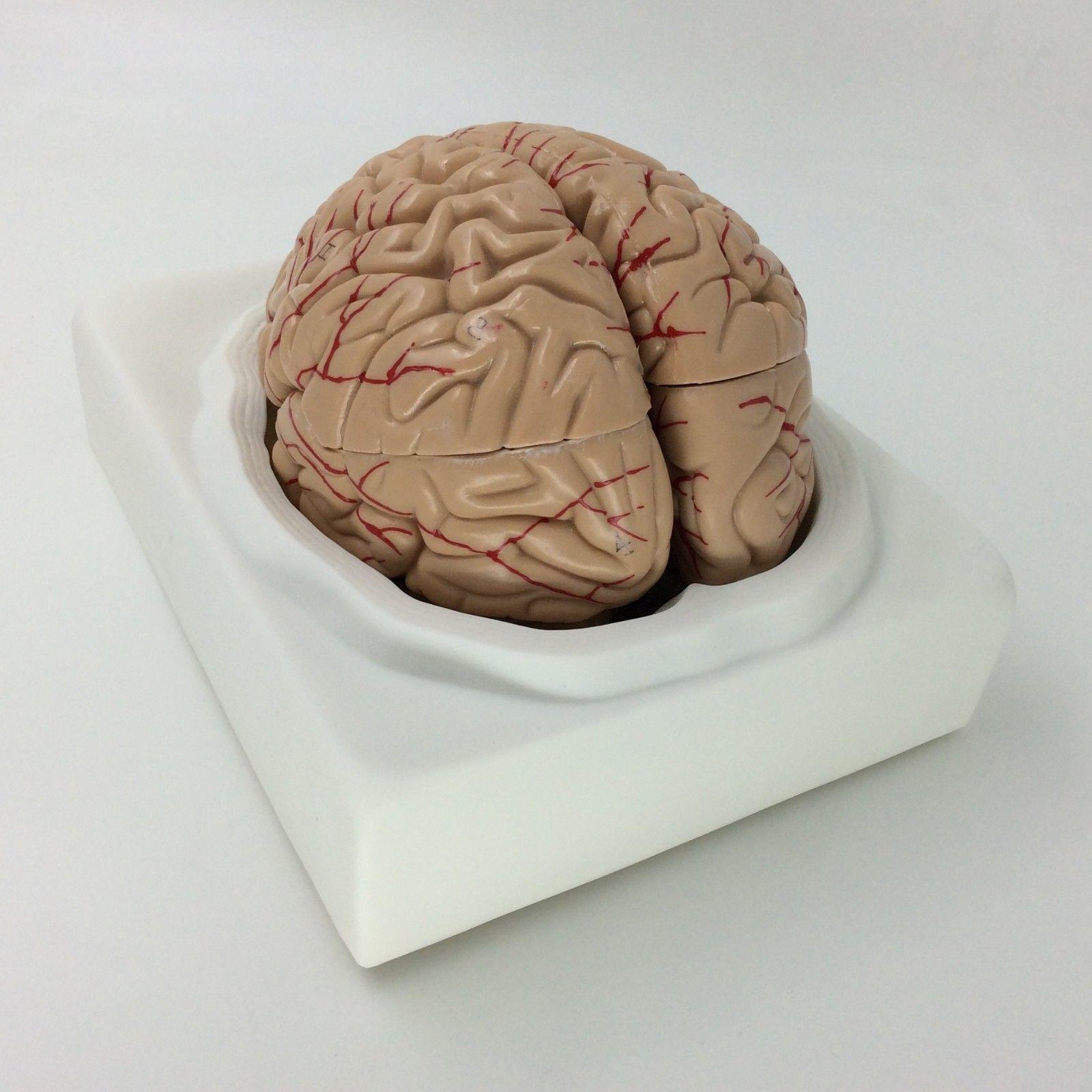 Life Size Human Brain model anatomical and similar items