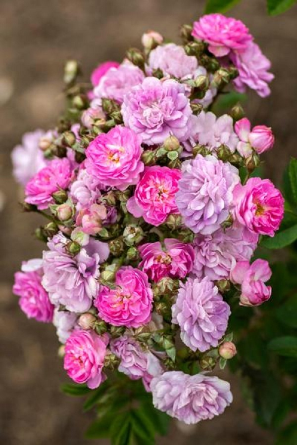 Compact Rose Bush Starter Plant - PRETTY POLLY LAVENDER - SHIPS WITHOUT POT  - $70.00