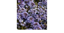 50 Seeds of Annual Seeds - Alyssum Wonderland Series Blue  - $16.58