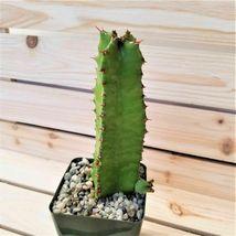 Live Plant Euphorbia resinifera Cactus Cacti Succulent Real  - $63.99