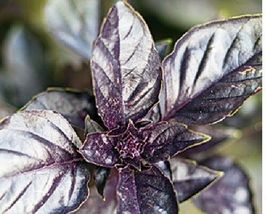 SHIP FROM US Basil, Purple Dark Opal Basil seeds - Heirloom & Non GMO SPT5 - $9.00