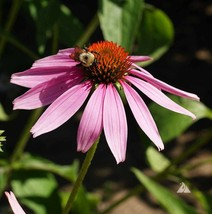 Purple Coneflower. 30400 seeds, or 1/4 pound - $45.38