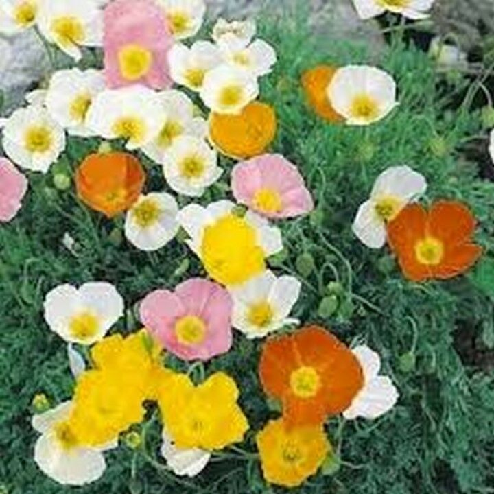 Primary image for 200 Pcs Mix Alpine Flower Seeds #MNSS