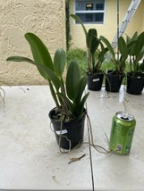 Rhyncattleanthe Blc Chonburi Red CATTLEYA Orchid Plant Pot BS 0509 K image 2