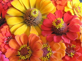 Non GMO | Southern Sunset Mix Zinnia | 50 Flower Seeds - $8.99
