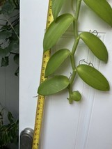 """Vanilla planifolia Orchid Plant Species 24"""" Cutting Rooted And Ready To Grow 127 image 2"""