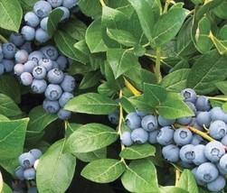 "1 Live Plant 2"" Pot Blueberry Plant, Early Ripening Duke Blueberry Plant... - $56.00"