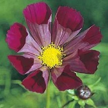 35 + Cosmos Estriado Pied Piper Semillas de Flor Sequía Tolerante - $4.77