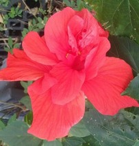 "2 Double Red Hibiscus Well Rooted Live Starter Plant 4"" To 7"" Tall - $25.98"