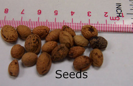 Heirloom 25 Seeds Cherry Tree Shrub Seeds cherry-tree Edible Fruit Seeds image 5