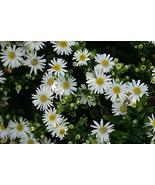 Japanese Aster aka Aster ageratoides 'Starshine' PP19403 Live Plant Fit ... - $9.26