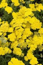USA yellow yarrow seeds 250-4000 seeds wildflower - butterfly garden heirloom - $6.80+