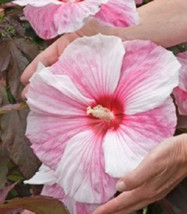 7 Disco Belle Hibiscus Seeds-1096 - $2.98