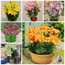 5 Bulbs Lily Rare Flower Garden Plant Faint Scent Can Purify The Air Bonsai - $8.99