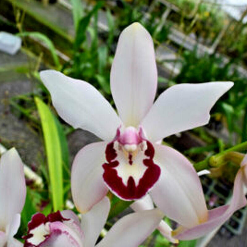 Cym. Vanessa Amorosi Pink Paradise' Orchid Plant Blooming Size Warm Grow 0429 N
