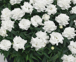 200 pcs Dianthus 'White Cosmos' Pinks Perennial Flower Seeds very very G... - $13.83